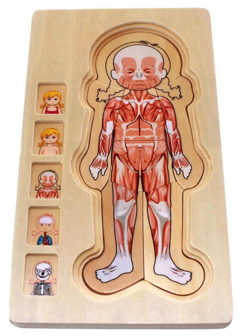 Ungewöhnlich Anatomie Puzzles Zeitgenössisch - Menschliche Anatomie ...